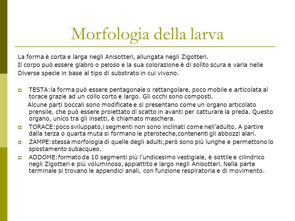 Morfologia della larva La forma è corta e larga negli Anisotteri, allungata negli Zigotteri.