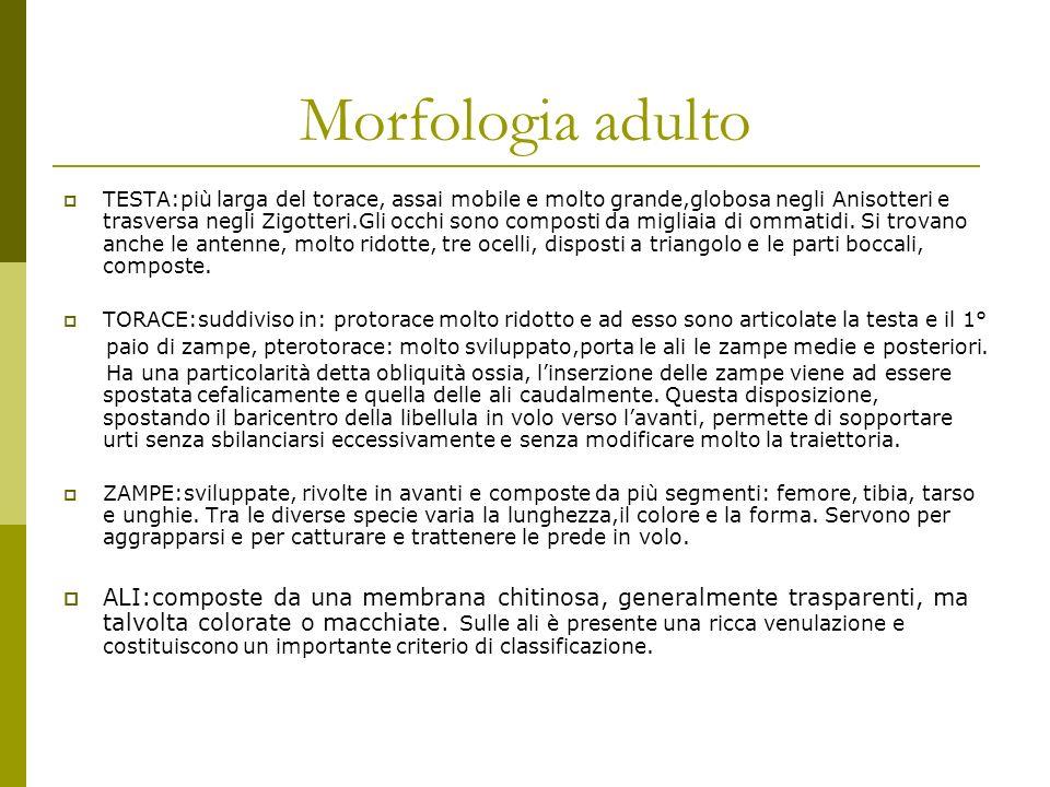 Morfologia adulto ADDOME:mobile,sottile e lungo.