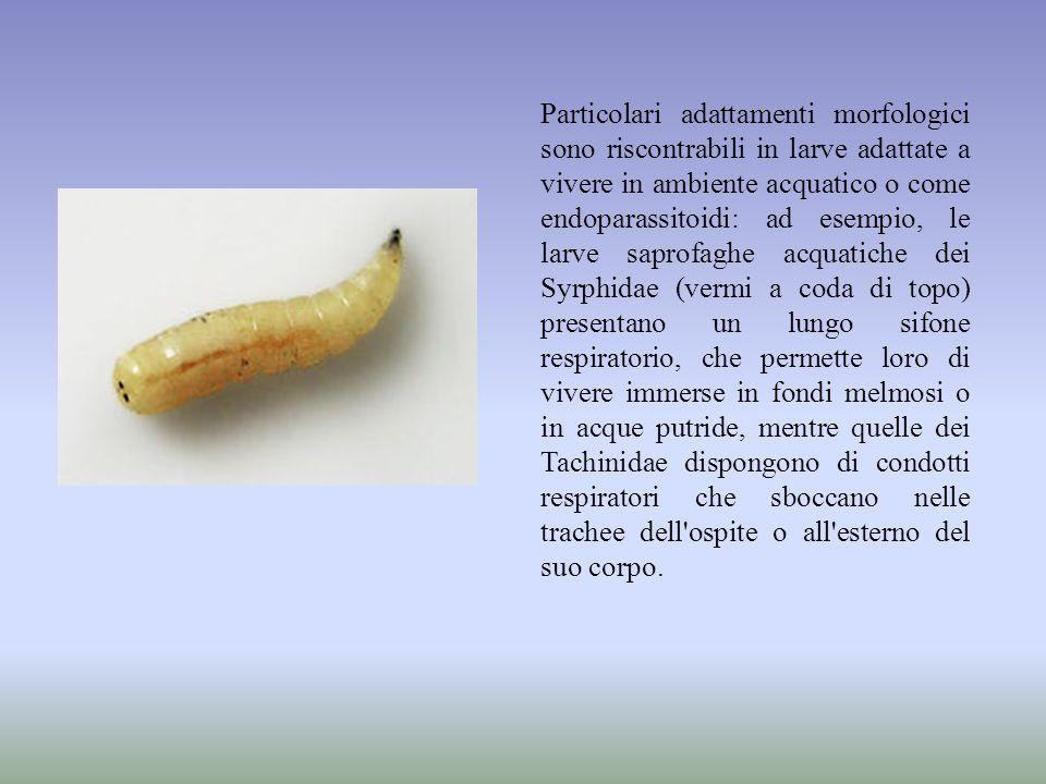 Particolari adattamenti morfologici sono riscontrabili in larve adattate a vivere in ambiente acquatico o come endoparassitoidi: ad esempio, le larve