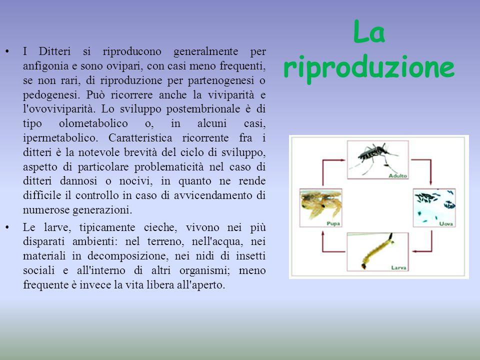 La riproduzione I Ditteri si riproducono generalmente per anfigonia e sono ovipari, con casi meno frequenti, se non rari, di riproduzione per partenog