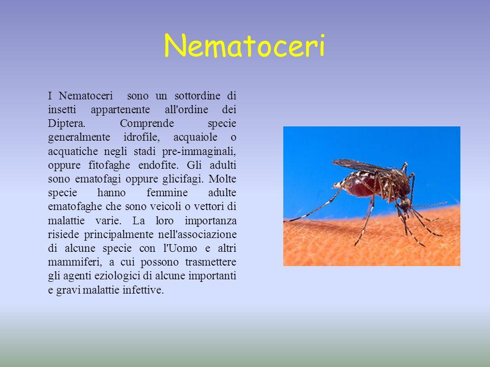 Nematoceri I Nematoceri sono un sottordine di insetti appartenente all'ordine dei Diptera. Comprende specie generalmente idrofile, acquaiole o acquati