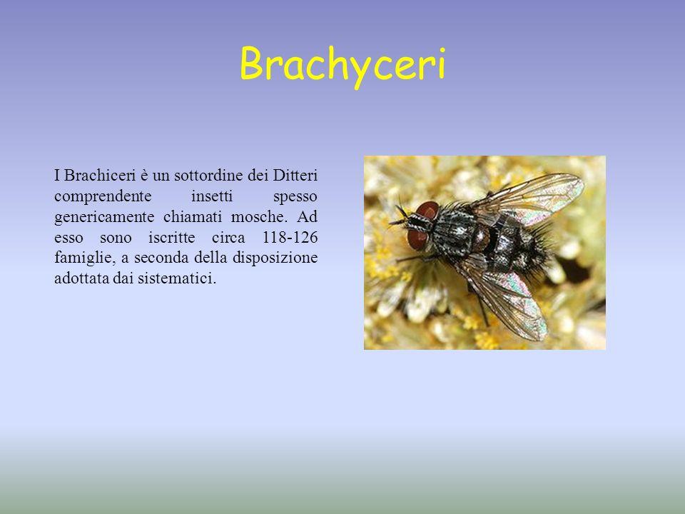 Brachyceri I Brachiceri è un sottordine dei Ditteri comprendente insetti spesso genericamente chiamati mosche. Ad esso sono iscritte circa 118-126 fam