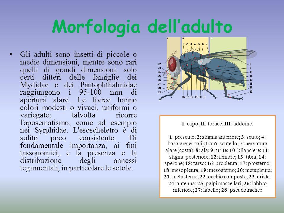 Morfologia delladulto Gli adulti sono insetti di piccole o medie dimensioni, mentre sono rari quelli di grandi dimensioni: solo certi ditteri delle fa