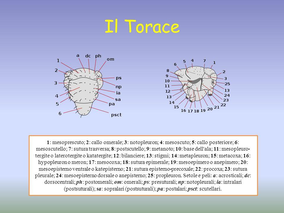 Il Torace 1: mesoprescuto; 2: callo omerale; 3: notopleuron; 4: mesoscuto; 5: callo posteriore; 6: mesoscutello; 7: sutura trasversa; 8: postscutello;