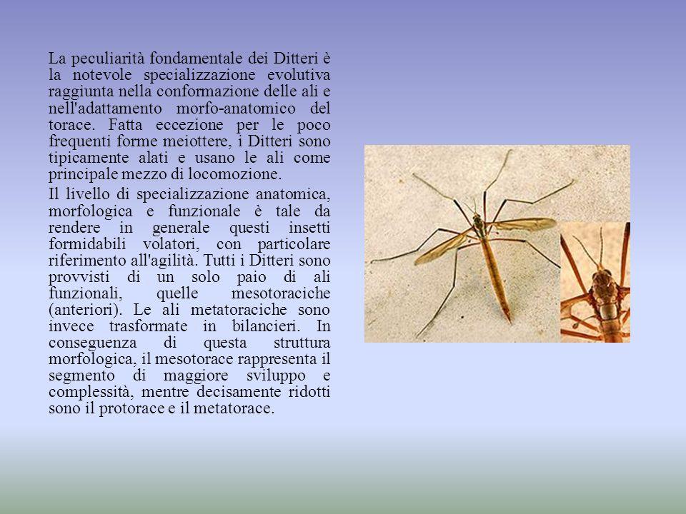 La peculiarità fondamentale dei Ditteri è la notevole specializzazione evolutiva raggiunta nella conformazione delle ali e nell'adattamento morfo-anat