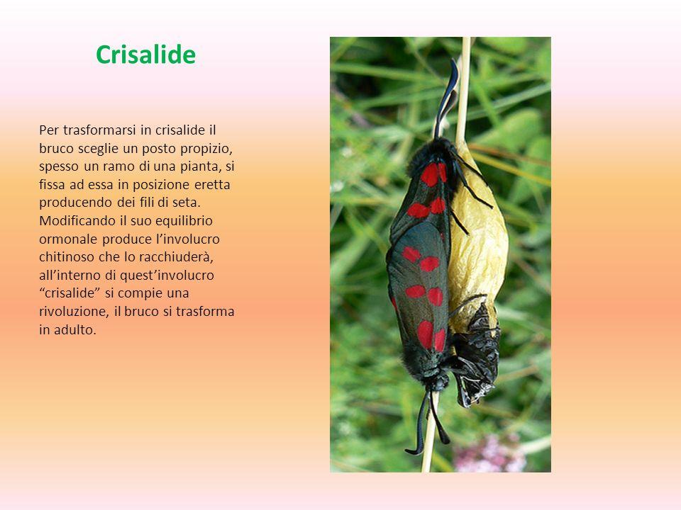 Crisalide Per trasformarsi in crisalide il bruco sceglie un posto propizio, spesso un ramo di una pianta, si fissa ad essa in posizione eretta produce