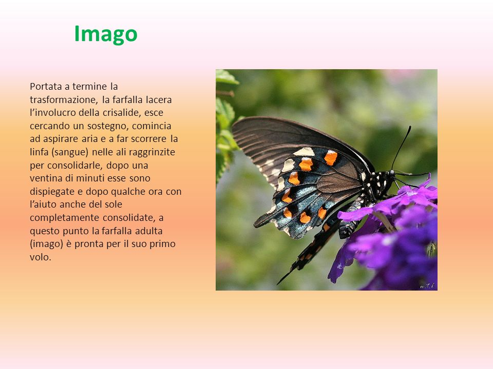 Imago Portata a termine la trasformazione, la farfalla lacera linvolucro della crisalide, esce cercando un sostegno, comincia ad aspirare aria e a far