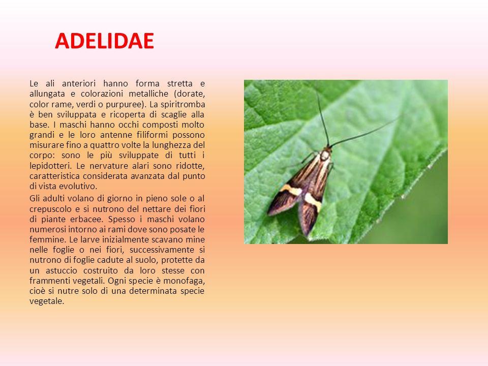 ADELIDAE Le ali anteriori hanno forma stretta e allungata e colorazioni metalliche (dorate, color rame, verdi o purpuree). La spiritromba è ben svilup