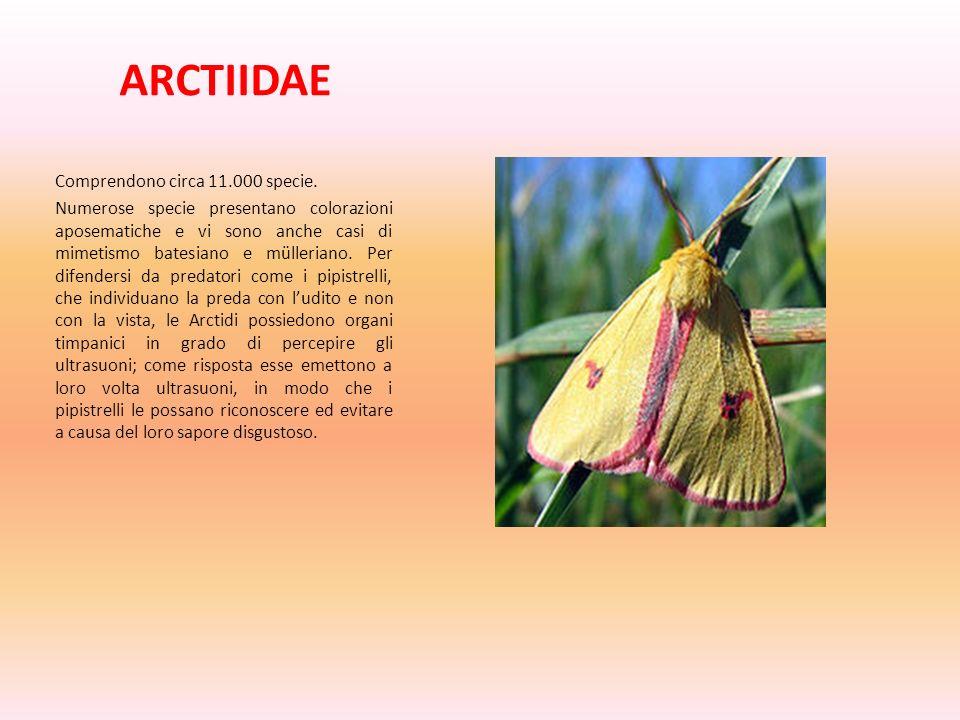 ARCTIIDAE Comprendono circa 11.000 specie. Numerose specie presentano colorazioni aposematiche e vi sono anche casi di mimetismo batesiano e müllerian
