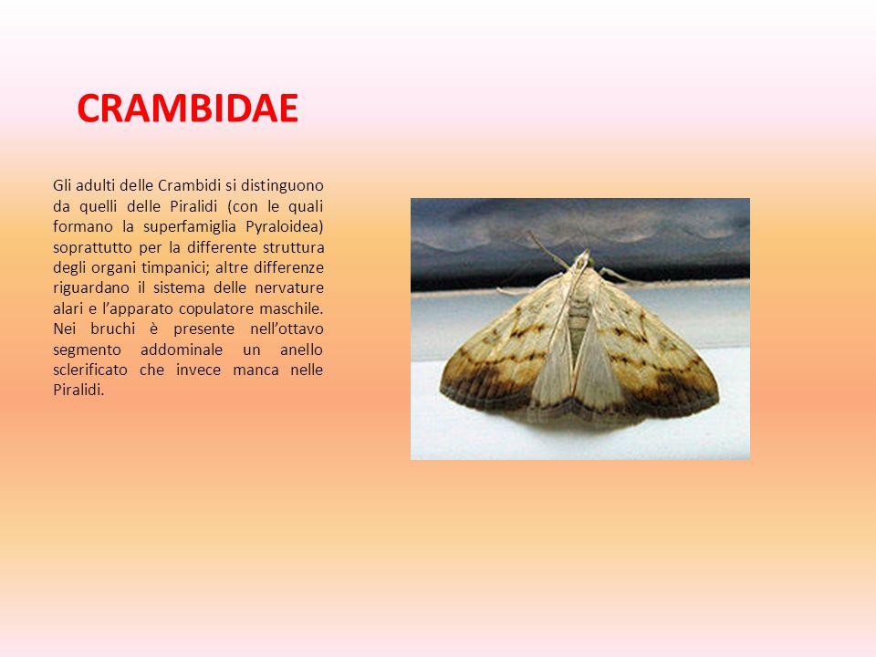CRAMBIDAE Gli adulti delle Crambidi si distinguono da quelli delle Piralidi (con le quali formano la superfamiglia Pyraloidea) soprattutto per la diff