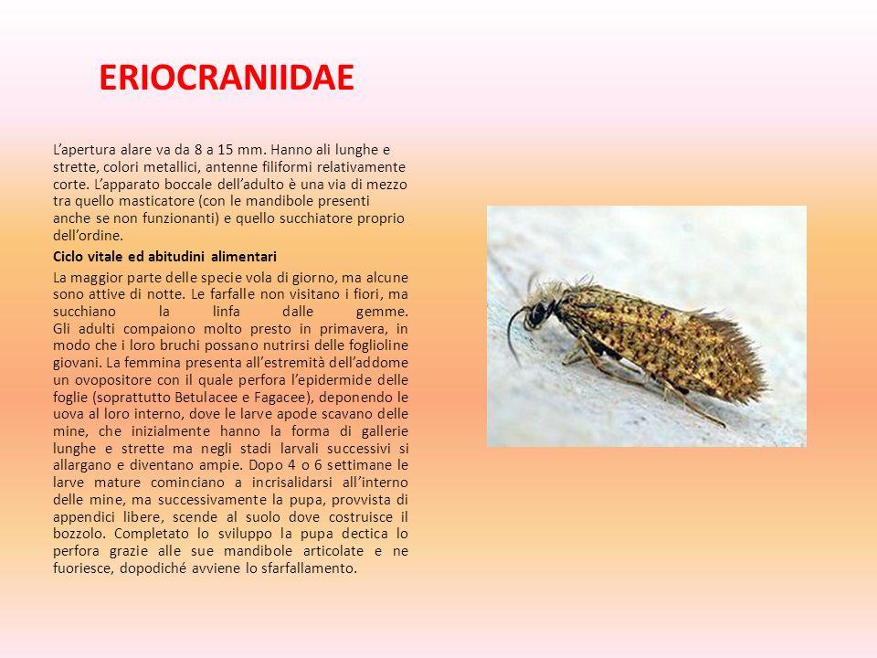 ERIOCRANIIDAE Lapertura alare va da 8 a 15 mm. Hanno ali lunghe e strette, colori metallici, antenne filiformi relativamente corte. Lapparato boccale