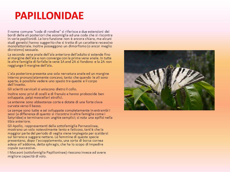 PAPILLONIDAE Il nome comune