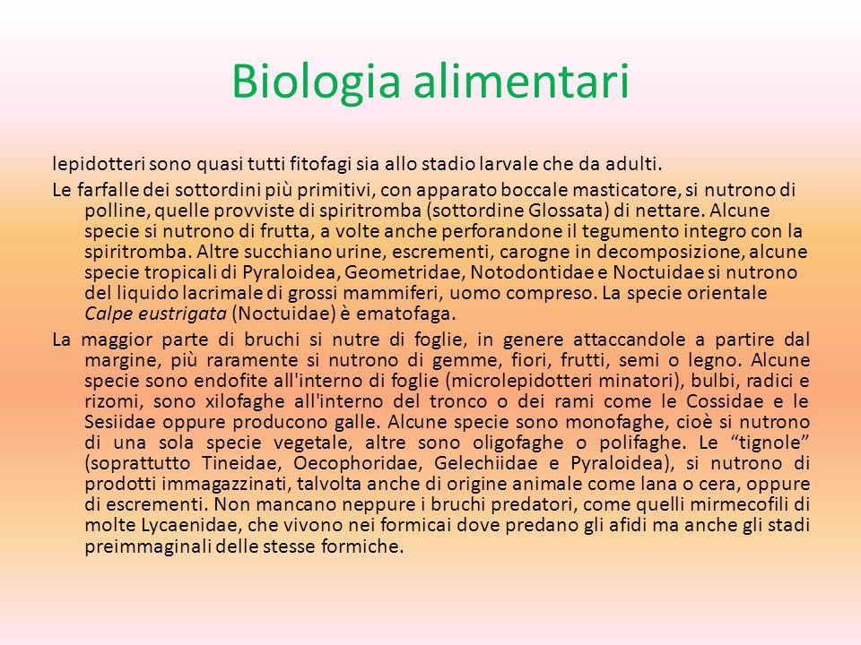 Biologia alimentari lepidotteri sono quasi tutti fitofagi sia allo stadio larvale che da adulti. Le farfalle dei sottordini più primitivi, con apparat