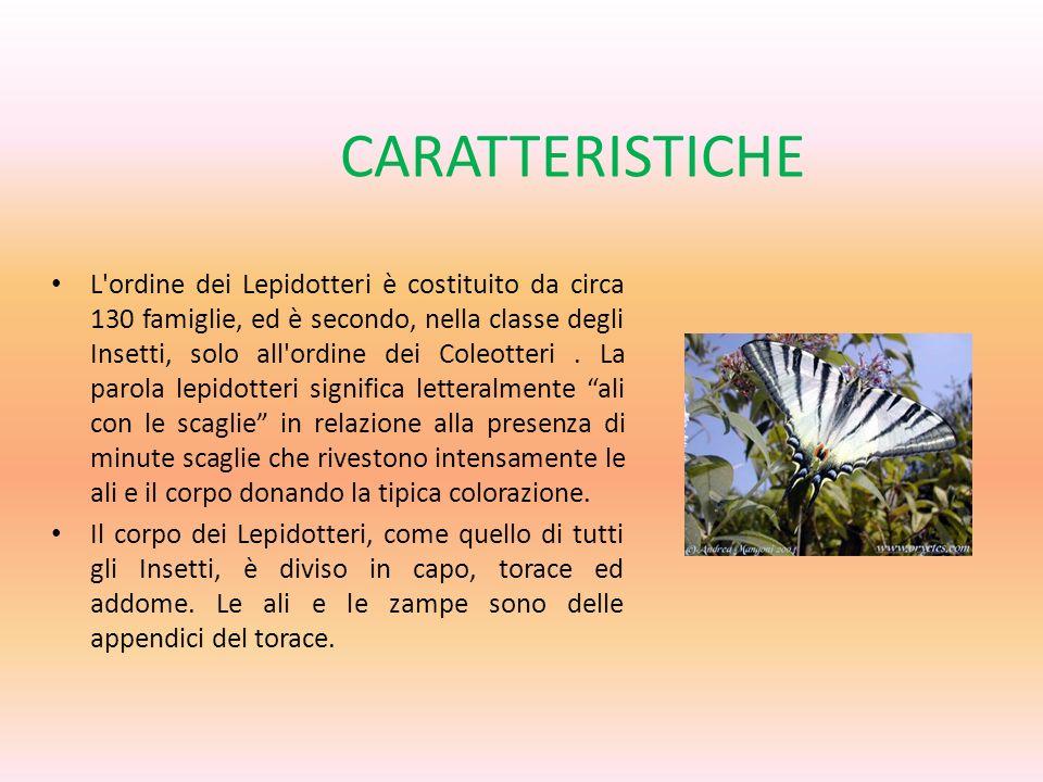 CARATTERISTICHE L'ordine dei Lepidotteri è costituito da circa 130 famiglie, ed è secondo, nella classe degli Insetti, solo all'ordine dei Coleotteri.