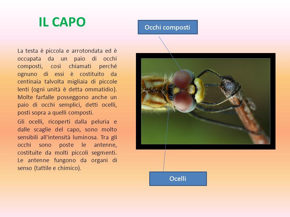 IL CAPO La testa è piccola e arrotondata ed è occupata da un paio di occhi composti, così chiamati perché ognuno di essi è costituito da centinaia tal