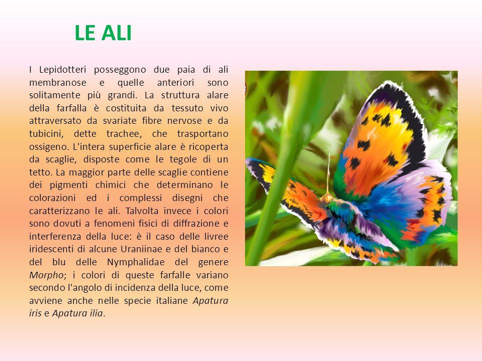 LE ALI I Lepidotteri posseggono due paia di ali membranose e quelle anteriori sono solitamente più grandi. La struttura alare della farfalla è costitu