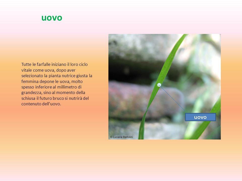 uovo Tutte le farfalle iniziano il loro ciclo vitale come uova, dopo aver selezionato la pianta nutrice giusta la femmina depone le uova, molto spesso