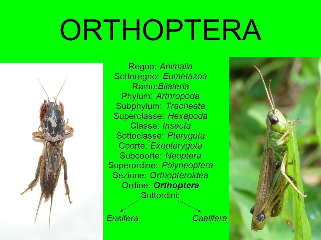 ORTHOPTERA Regno: Animalia Sottoregno: Eumetazoa Ramo:Bilateria Phylum: Arthropoda Subphylum: Tracheata Superclasse: Hexapoda Classe: Insecta Sottocla