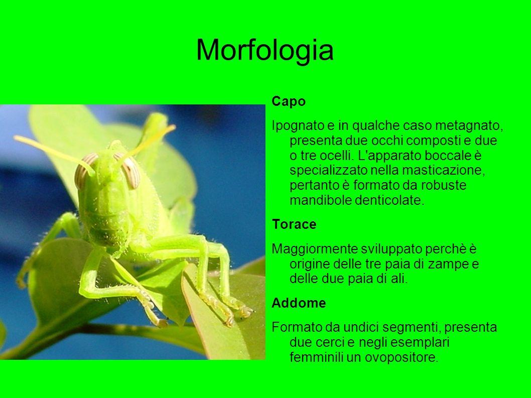 Morfologia Capo Ipognato e in qualche caso metagnato, presenta due occhi composti e due o tre ocelli. L'apparato boccale è specializzato nella mastica