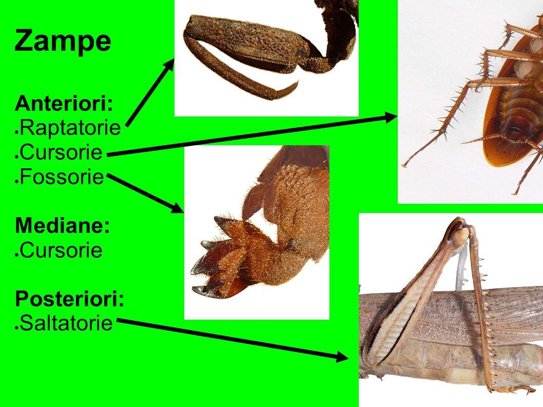 Zampe Anteriori: Raptatorie Cursorie Fossorie Mediane: Cursorie Posteriori: Saltatorie