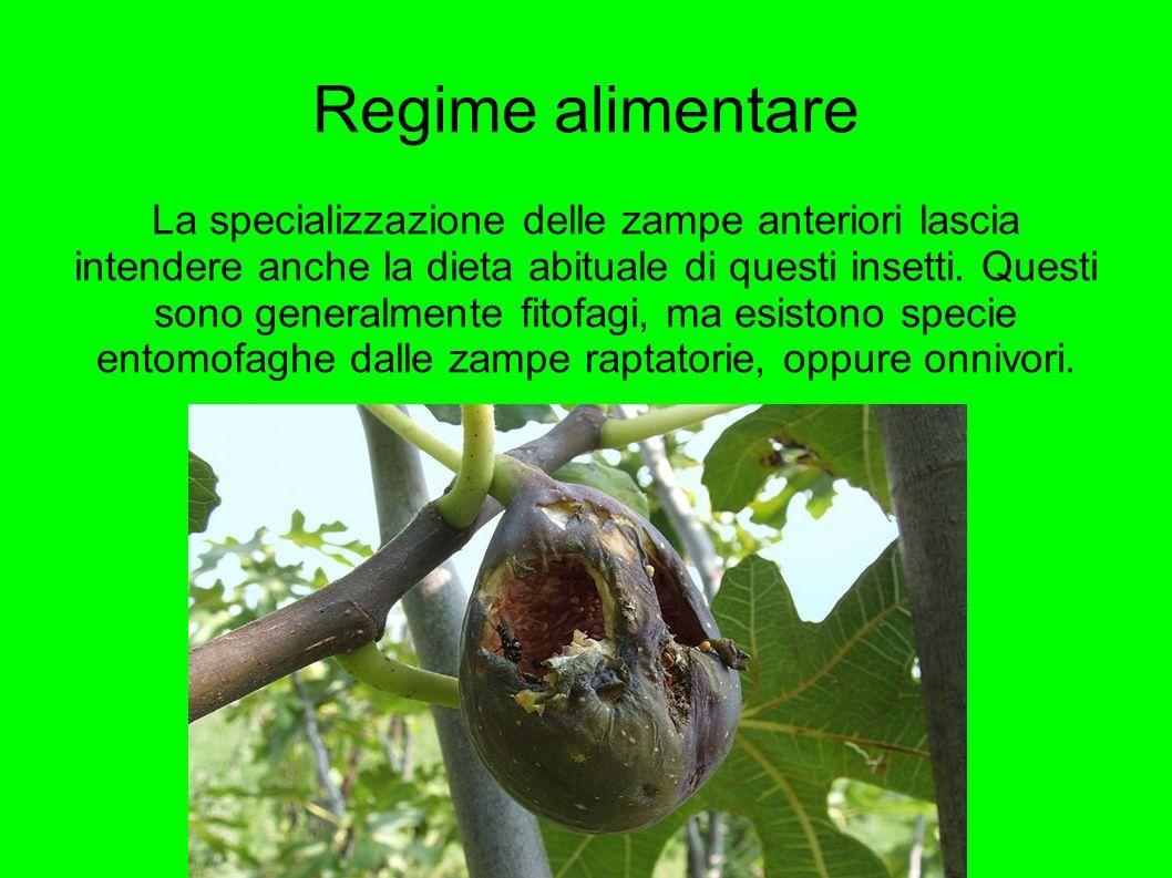 Regime alimentare La specializzazione delle zampe anteriori lascia intendere anche la dieta abituale di questi insetti. Questi sono generalmente fitof