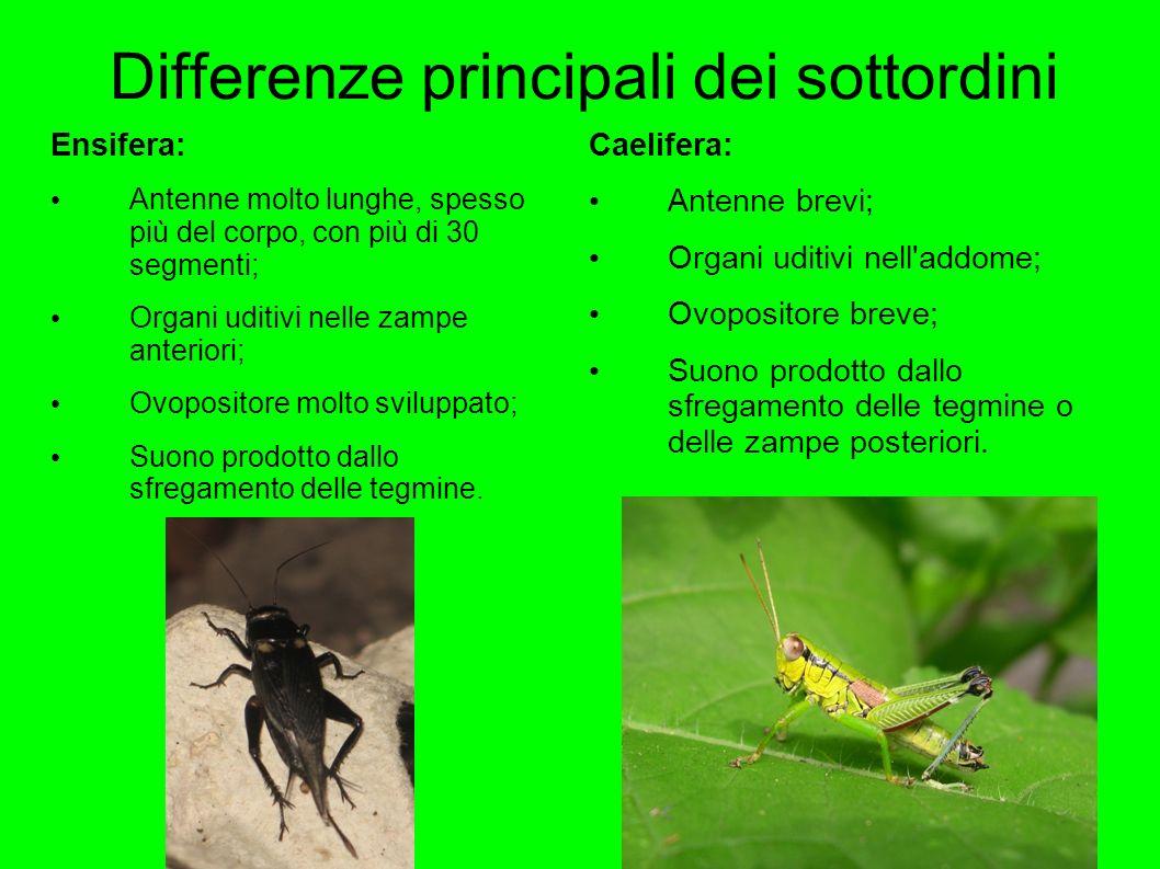 Differenze principali dei sottordini Ensifera: Antenne molto lunghe, spesso più del corpo, con più di 30 segmenti; Organi uditivi nelle zampe anterior