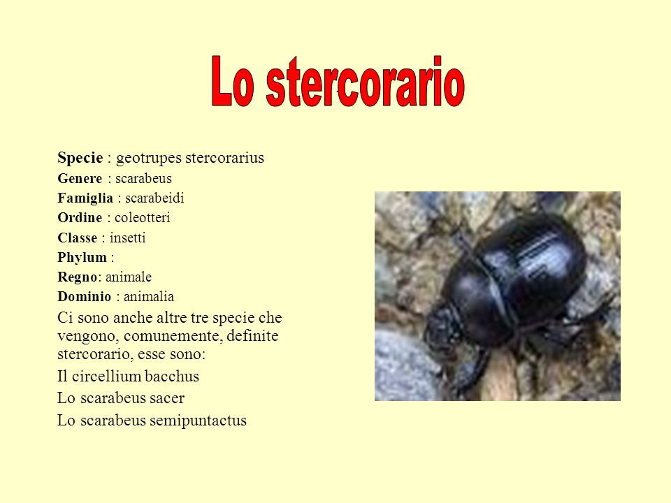 . Specie : geotrupes stercorarius Genere : scarabeus Famiglia : scarabeidi Ordine : coleotteri Classe : insetti Phylum : Regno: animale Dominio : anim