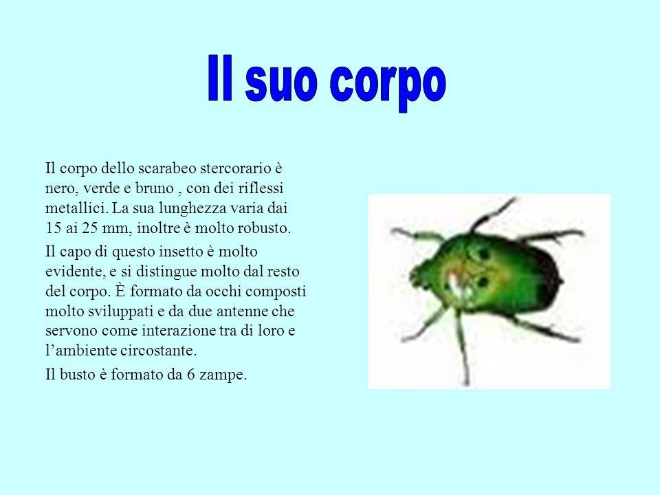 Lo scarabeo stercorario è un insetto coprofago, quindi la su abitudine è quella di nutrirsi dello sterco, che viene conservato sottoforma di pallottola, e trasportato facendolo rotolare sul suolo.