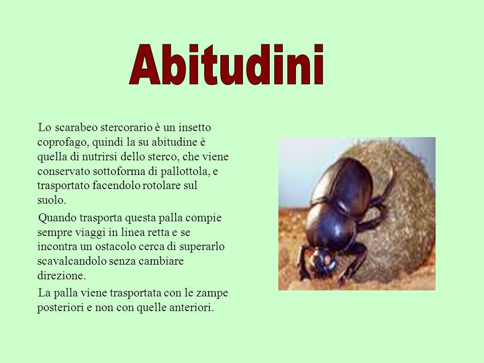 . Lo scarabeo stercorario è un insetto coprofago, quindi la su abitudine è quella di nutrirsi dello sterco, che viene conservato sottoforma di pallott