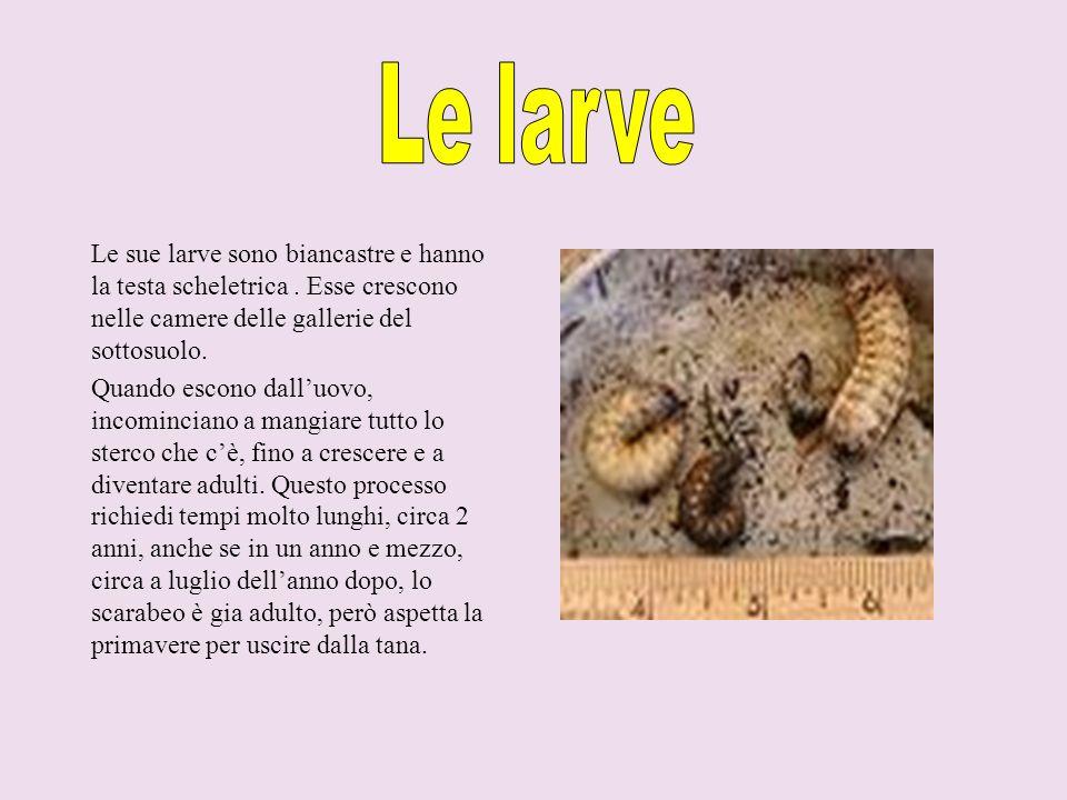 . Le sue larve sono biancastre e hanno la testa scheletrica. Esse crescono nelle camere delle gallerie del sottosuolo. Quando escono dalluovo, incomin