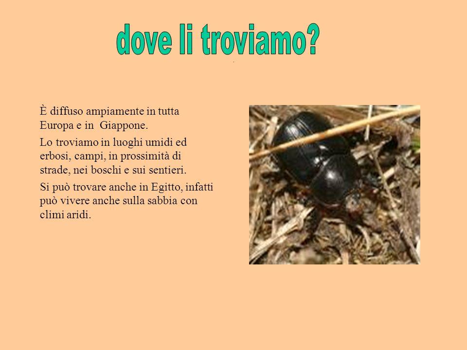 . È diffuso ampiamente in tutta Europa e in Giappone. Lo troviamo in luoghi umidi ed erbosi, campi, in prossimità di strade, nei boschi e sui sentieri