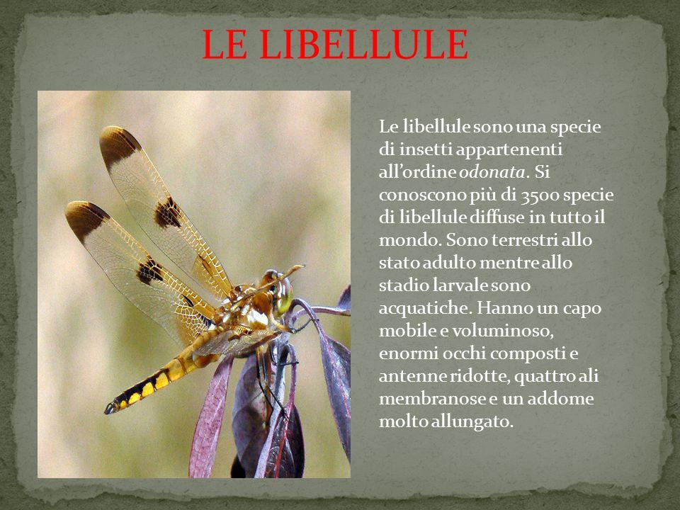 LE LIBELLULE Le libellule sono una specie di insetti appartenenti allordine odonata. Si conoscono più di 3500 specie di libellule diffuse in tutto il