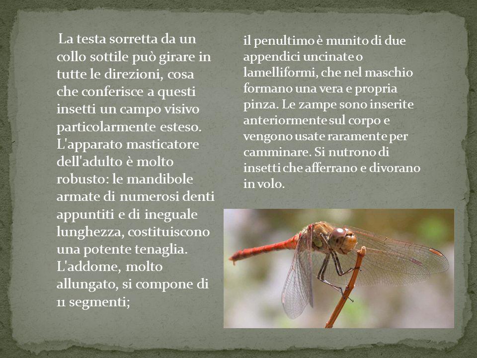 La testa sorretta da un collo sottile può girare in tutte le direzioni, cosa che conferisce a questi insetti un campo visivo particolarmente esteso. L