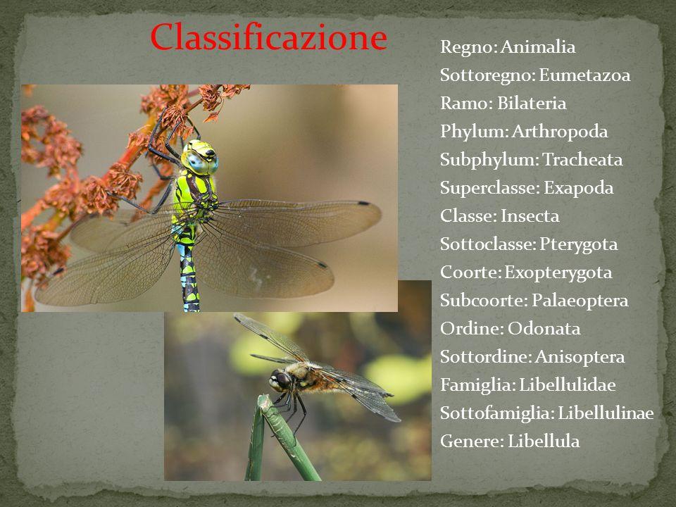Regno: Animalia Sottoregno: Eumetazoa Ramo: Bilateria Phylum: Arthropoda Subphylum: Tracheata Superclasse: Exapoda Classe: Insecta Sottoclasse: Pteryg