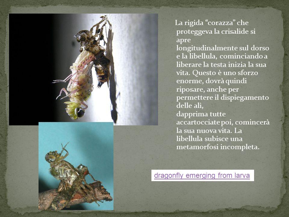 La rigida corazza che proteggeva la crisalide si apre longitudinalmente sul dorso e la libellula, cominciando a liberare la testa inizia la sua vita.