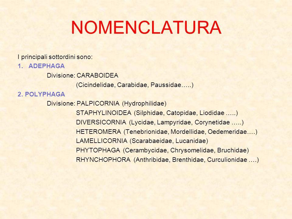 NOMENCLATURA I principali sottordini sono: 1.ADEPHAGA Divisione: CARABOIDEA (Cicindelidae, Carabidae, Paussidae…..) 2. POLYPHAGA Divisione: PALPICORNI