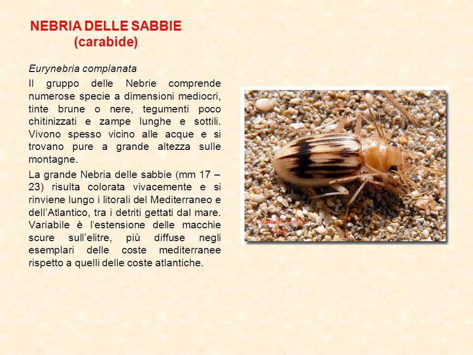NEBRIA DELLE SABBIE (carabide) Eurynebria complanata Il gruppo delle Nebrie comprende numerose specie a dimensioni mediocri, tinte brune o nere, tegum