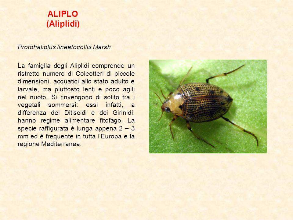 ALIPLO (Aliplidi) Protohaliplus lineatocollis Marsh La famiglia degli Aliplidi comprende un ristretto numero di Coleotteri di piccole dimensioni, acqu