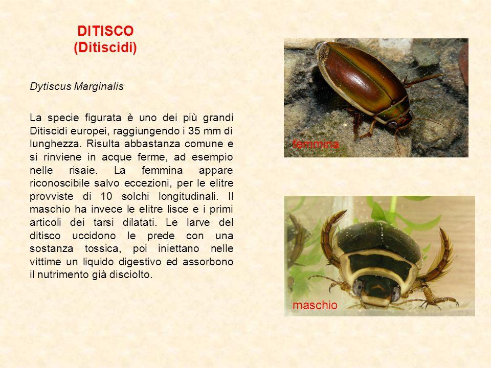 DITISCO (Ditiscidi) Dytiscus Marginalis La specie figurata è uno dei più grandi Ditiscidi europei, raggiungendo i 35 mm di lunghezza. Risulta abbastan