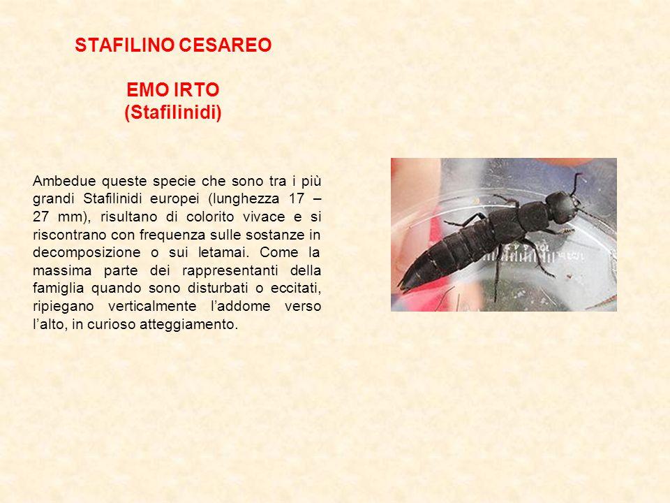 STAFILINO CESAREO EMO IRTO (Stafilinidi) Ambedue queste specie che sono tra i più grandi Stafilinidi europei (lunghezza 17 – 27 mm), risultano di colo