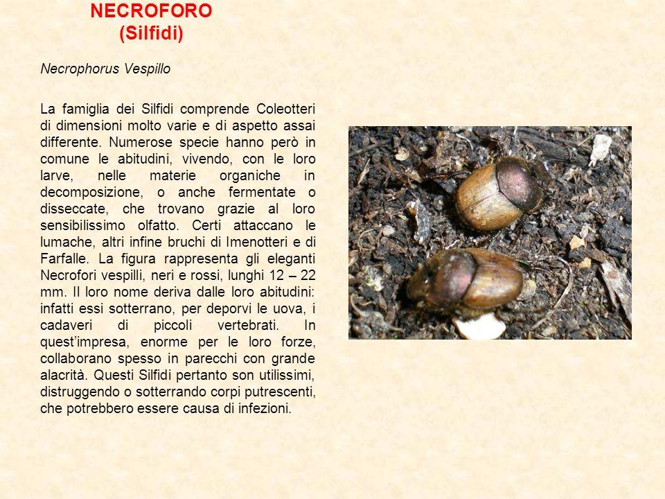 NECROFORO (Silfidi) Necrophorus Vespillo La famiglia dei Silfidi comprende Coleotteri di dimensioni molto varie e di aspetto assai differente. Numeros