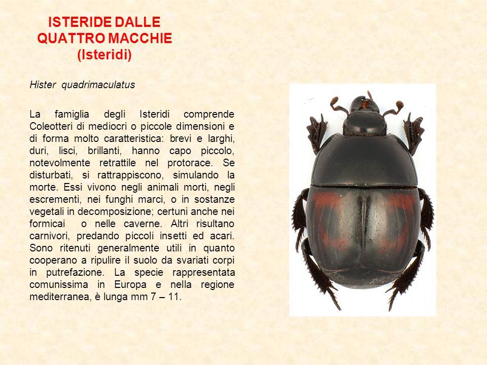 ISTERIDE DALLE QUATTRO MACCHIE (Isteridi) Hister quadrimaculatus La famiglia degli Isteridi comprende Coleotteri di mediocri o piccole dimensioni e di
