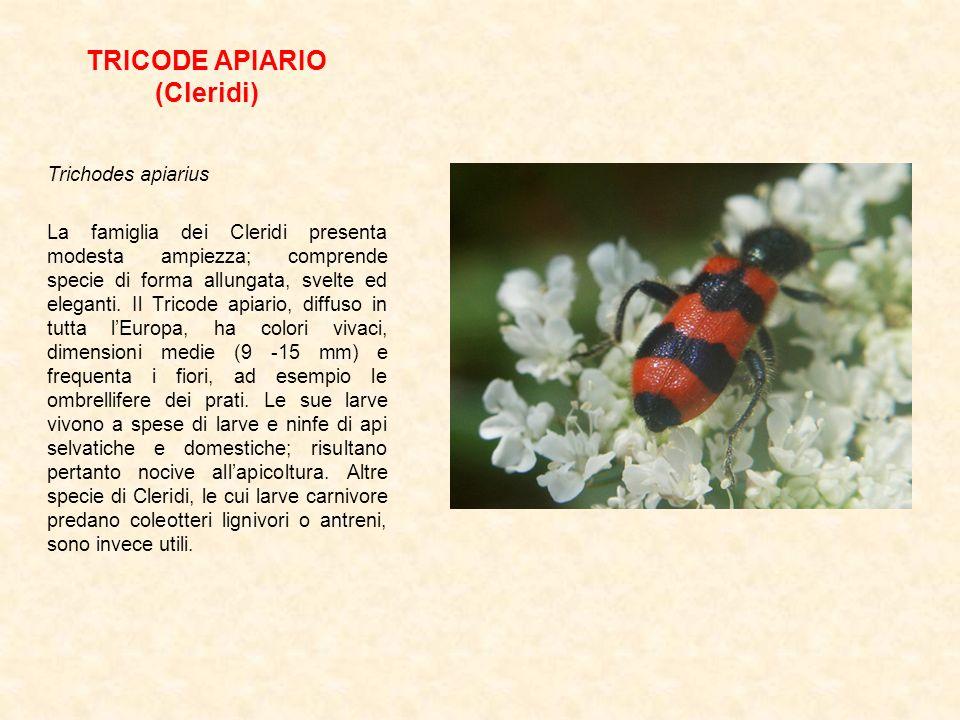 TRICODE APIARIO (Cleridi) Trichodes apiarius La famiglia dei Cleridi presenta modesta ampiezza; comprende specie di forma allungata, svelte ed elegant