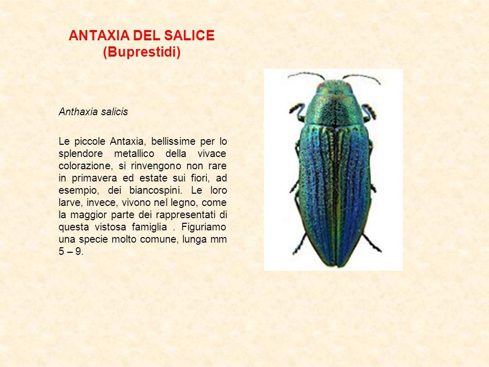 ANTAXIA DEL SALICE (Buprestidi) Anthaxia salicis Le piccole Antaxia, bellissime per lo splendore metallico della vivace colorazione, si rinvengono non