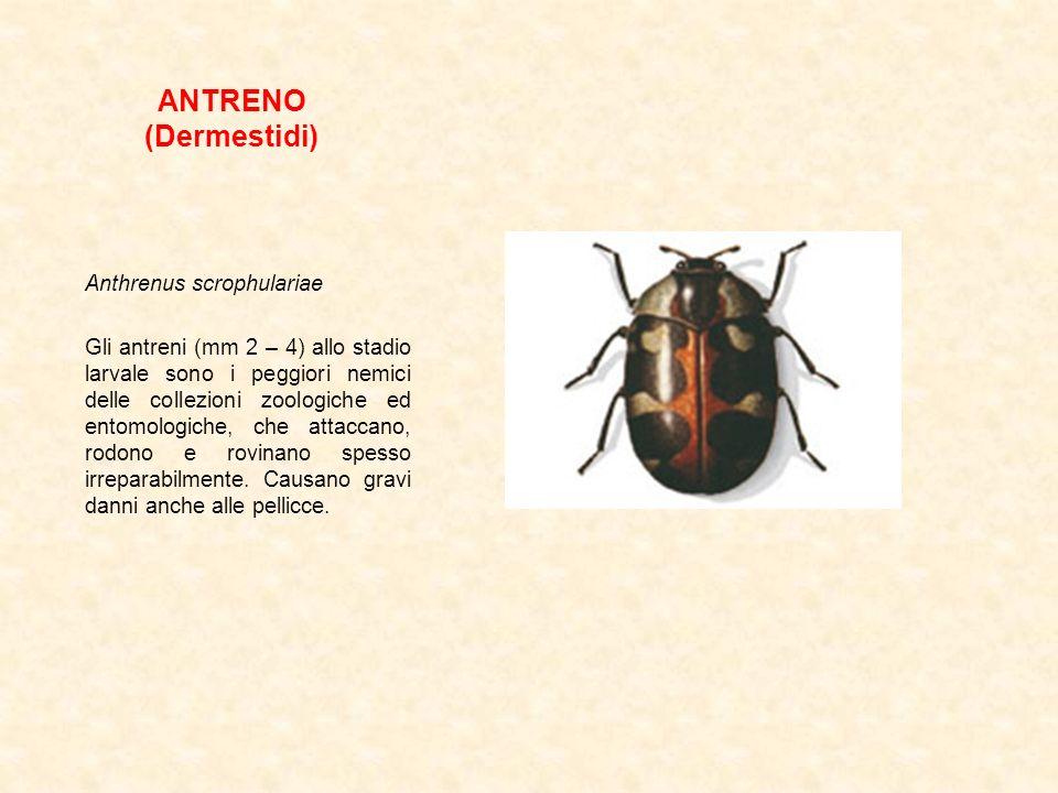 ANTRENO (Dermestidi) Anthrenus scrophulariae Gli antreni (mm 2 – 4) allo stadio larvale sono i peggiori nemici delle collezioni zoologiche ed entomolo