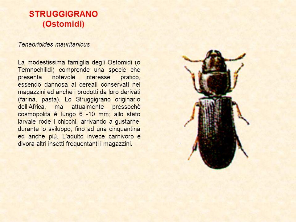 STRUGGIGRANO (Ostomidi) Tenebrioides mauritanicus La modestissima famiglia degli Ostomidi (o Temnochilidi) comprende una specie che presenta notevole