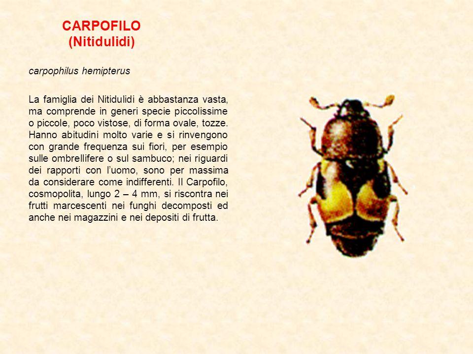 CARPOFILO (Nitidulidi) carpophilus hemipterus La famiglia dei Nitidulidi è abbastanza vasta, ma comprende in generi specie piccolissime o piccole, poc