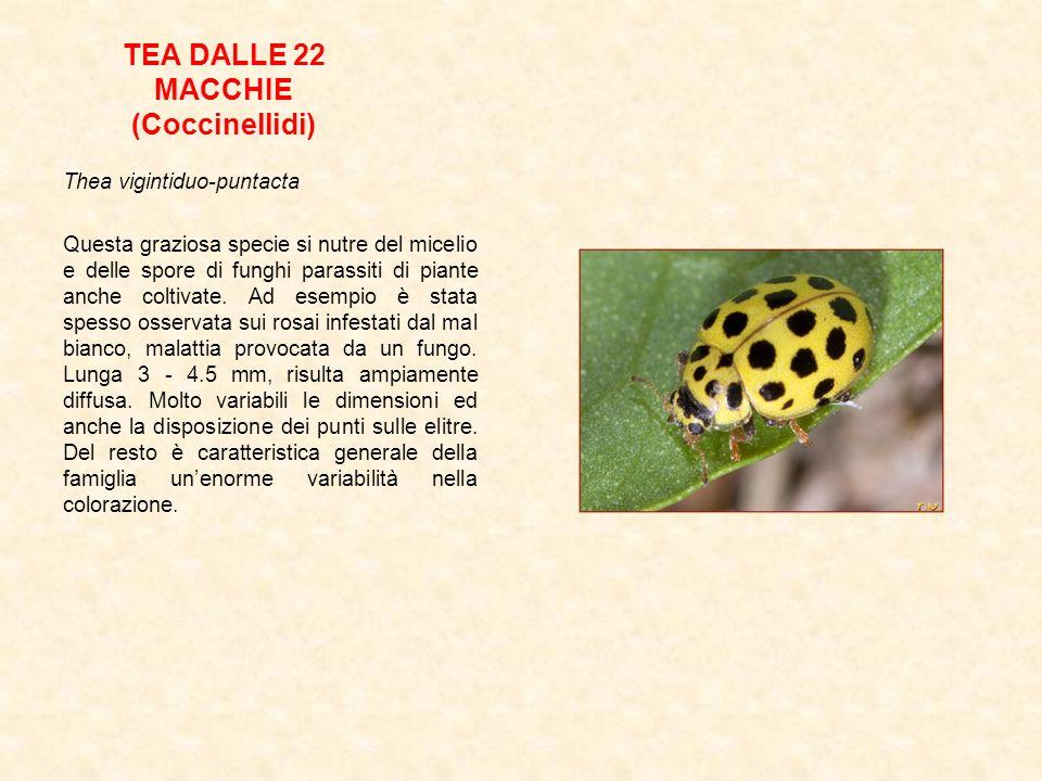 TEA DALLE 22 MACCHIE (Coccinellidi) Thea vigintiduo-puntacta Questa graziosa specie si nutre del micelio e delle spore di funghi parassiti di piante a