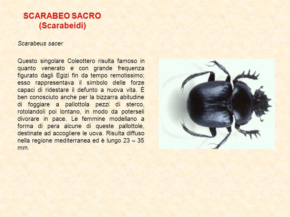 SCARABEO SACRO (Scarabeidi) Scarabeus sacer Questo singolare Coleottero risulta famoso in quanto venerato e con grande frequenza figurato dagli Egizi