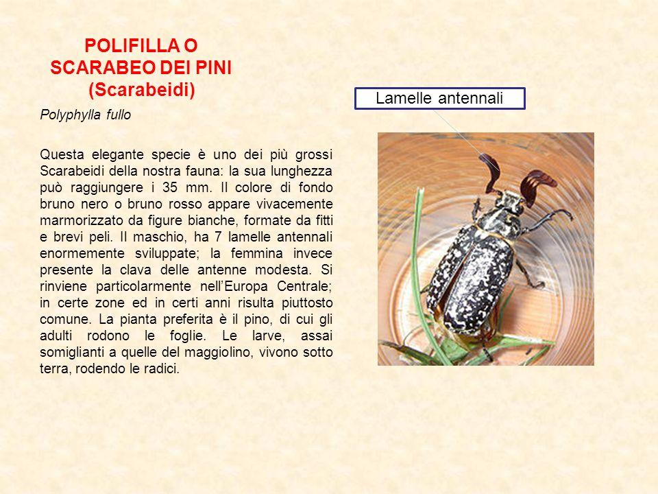 POLIFILLA O SCARABEO DEI PINI (Scarabeidi) Polyphylla fullo Questa elegante specie è uno dei più grossi Scarabeidi della nostra fauna: la sua lunghezz